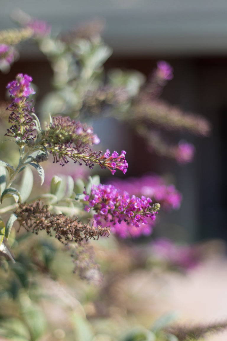 Sixteen Miles Out, butterfly bush, flowers, nature, outdoors,